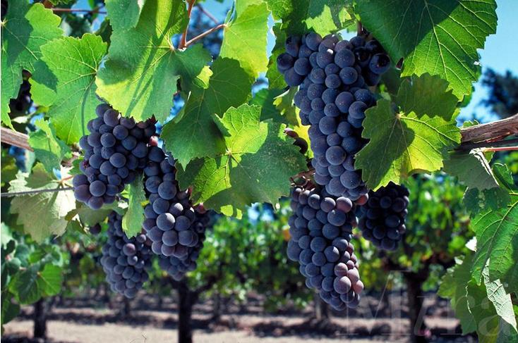 Photo of पोषक तत्वों से भरपूर अंगूर के जूस के जानें फायदे
